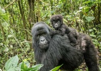 Mountain--Gorilla--Mom_and-baby